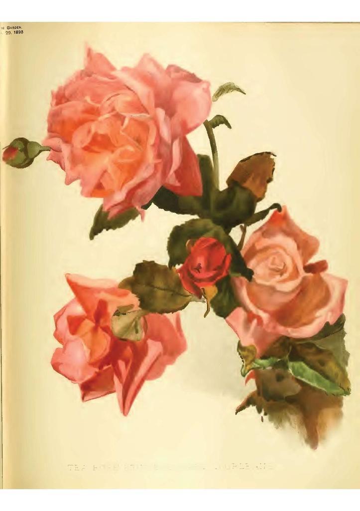 gravure rose Marie d  Orléans the garden vol 53 1898 page 84 85-page-001