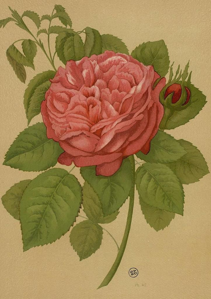 mme Boll le livre d or des roses Paul Harriot 1903
