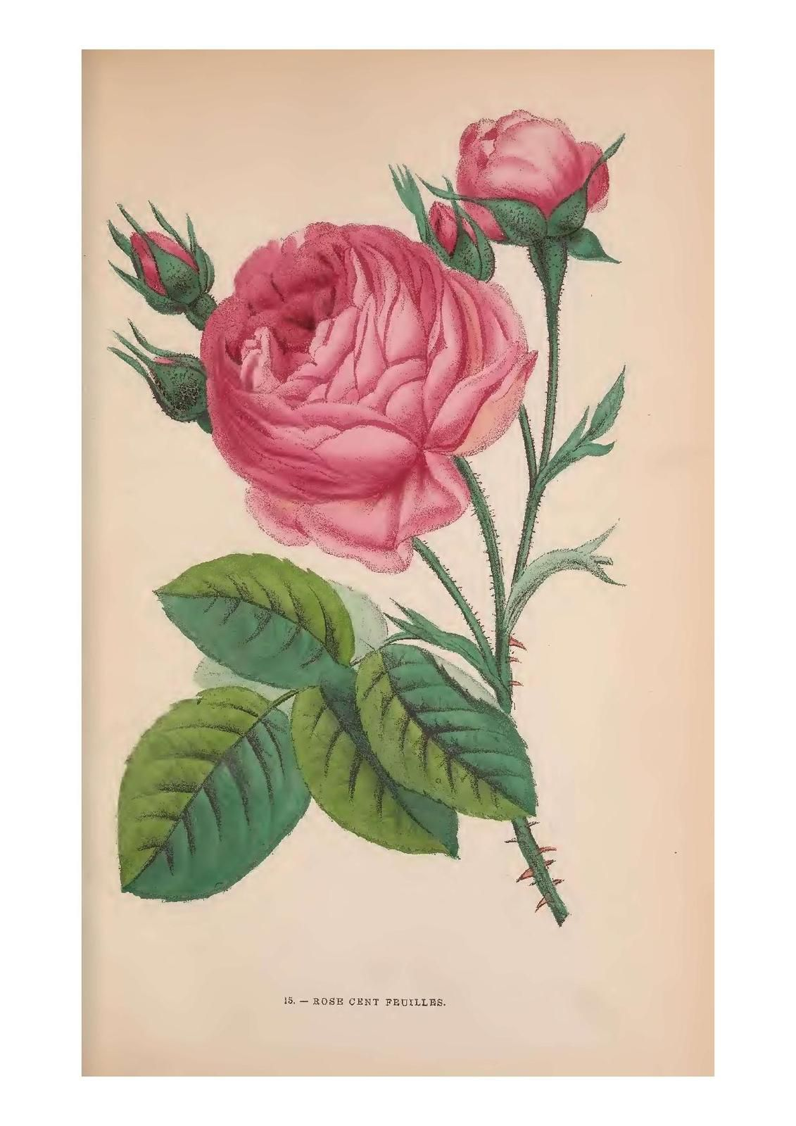 cent feuilles Les Roses  by Hippolyte Jamain and Eugène Forney 1873