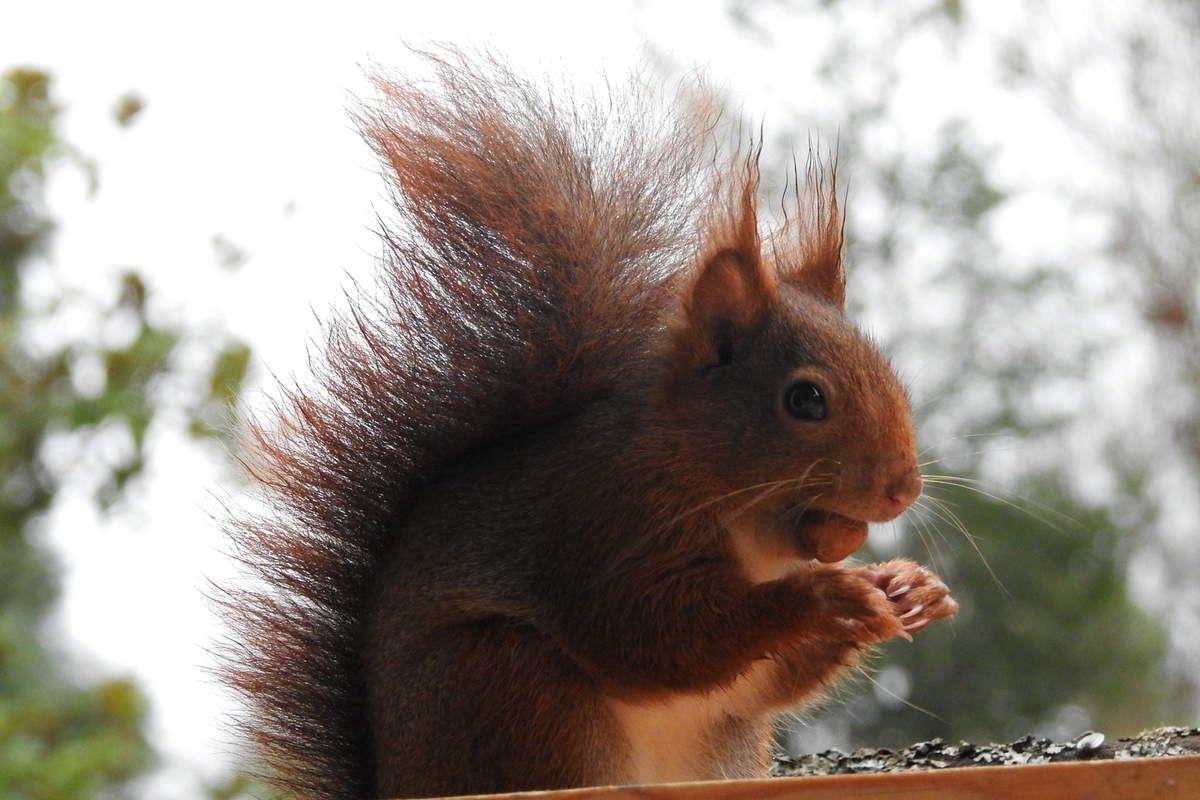 écureuil nourriture