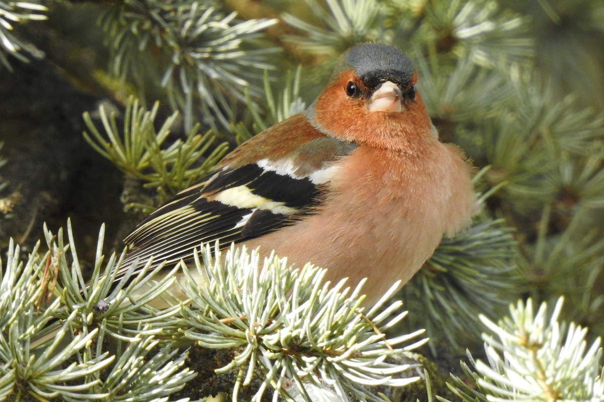 pinson des arbres mâle gonflé froid oiseau jardin