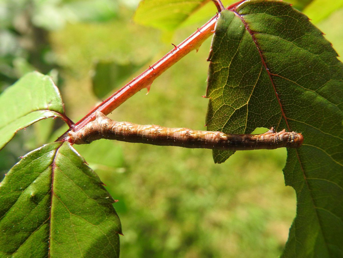 mimétisme chenille brindille camouflage boarmie du chêne