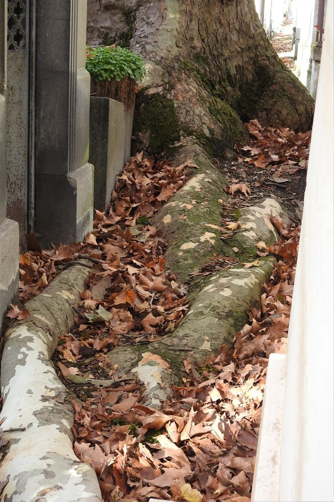 platane racines Père Lachaise absorbe la pierre