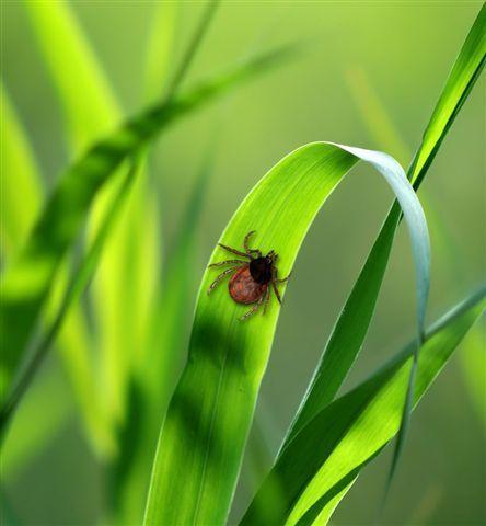 Maladie de Lyme : en attendant le vaccin annoncé, protégez votre jardin