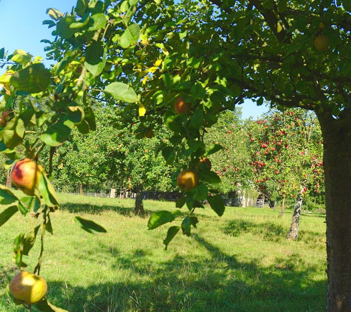 Pommes et pommiers en normandie