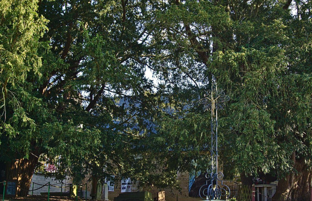Projet 52 - chez Ma - semaine 12 - Arbre (s) - Ifs chapelles, la Haye-de-Routot