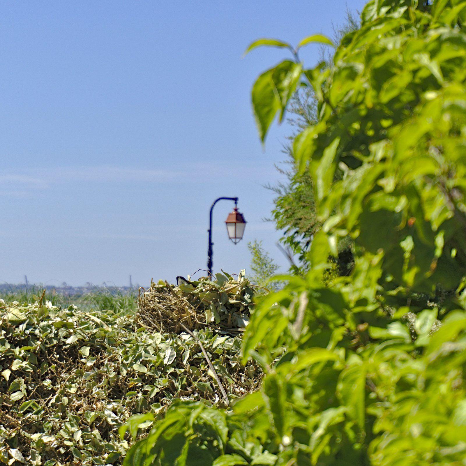 Défi photo 30 jours - Jour 11 : Nid  Au jardin des personnalités à Honfleur, perché sur une haie, voici le nid d'une foulque macroule, petit échassier souvent confondu avec la poule d'eau.