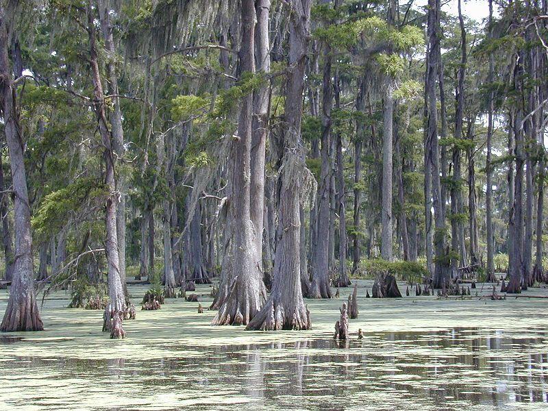 (Cyprès chauves dans un bayou, Louisiane, photo de Jan kronsell, 30/06/2002, wikipédia)