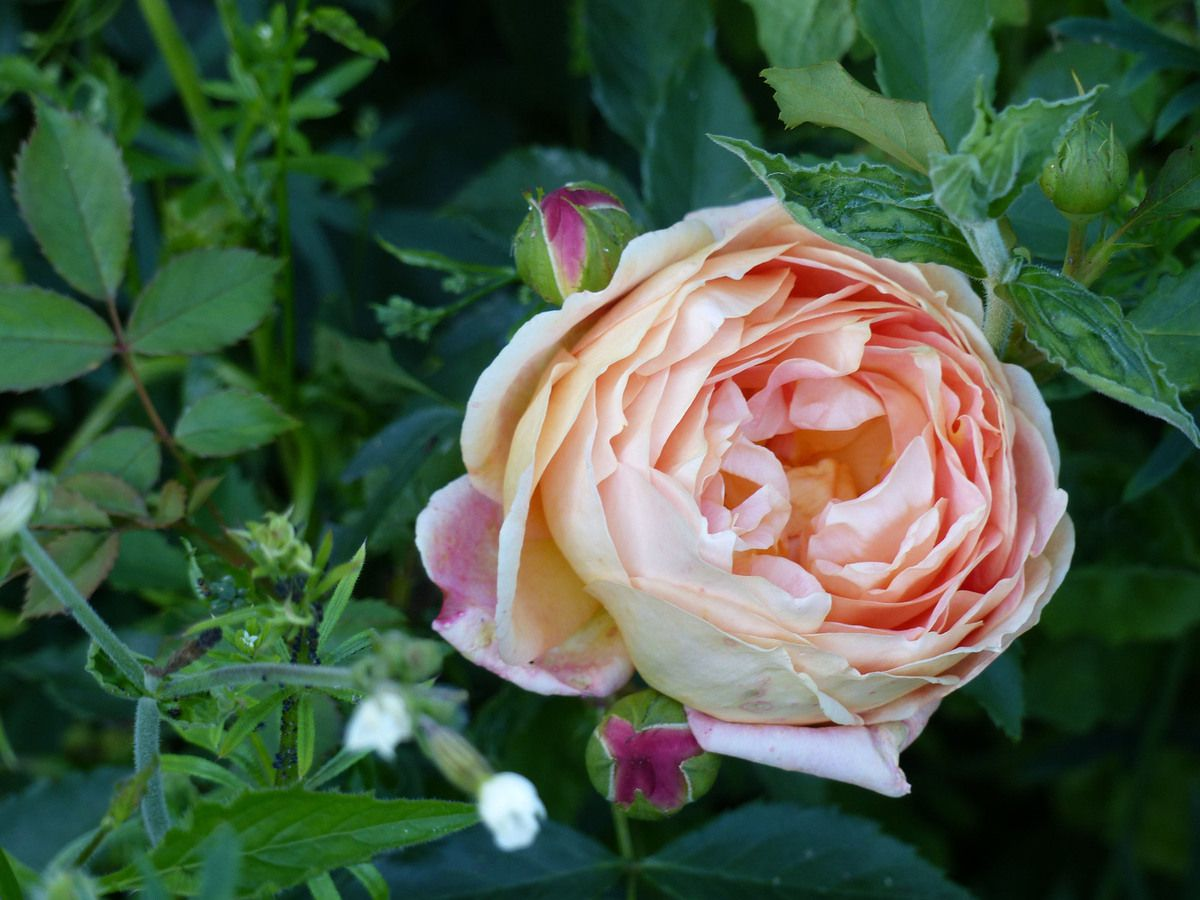 Rose - Rosier - Roseraie - Gascogne - Mouline de Belin - Lady of Shalot