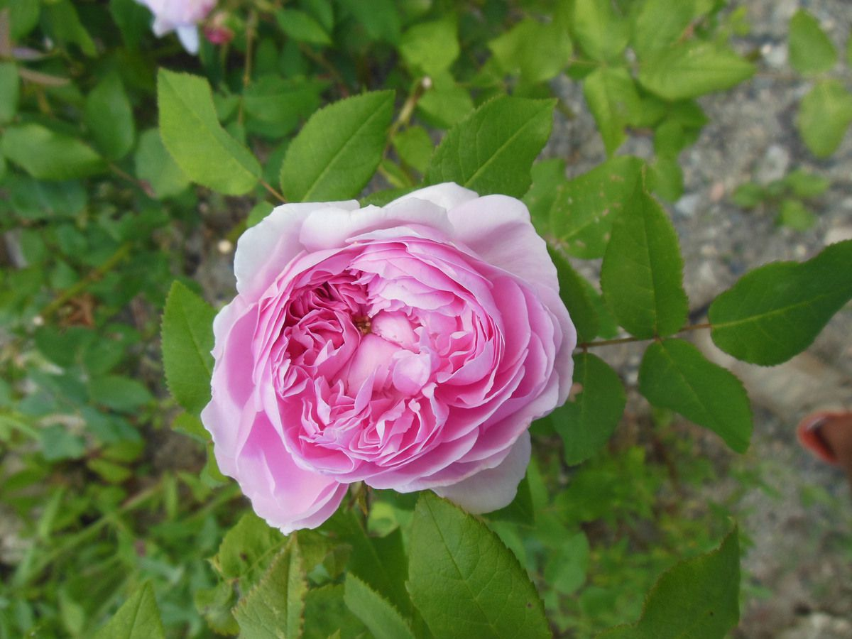 Rose - Rosier - Roseraie - Gascogne - Mouline de Belin - Jacques Cartier