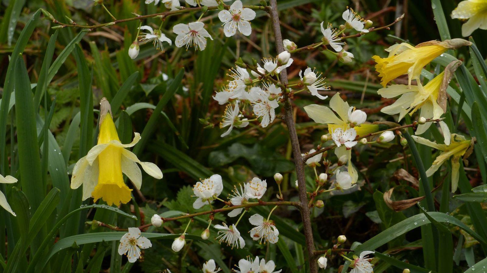 jonquille narcisse botanique lectoure gascogne gers