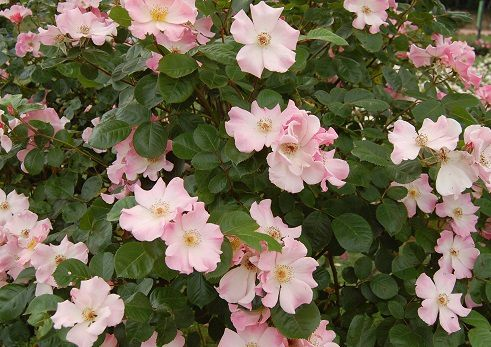 blog-maman-picou-bulle-lyon-parc-tete-or-roses