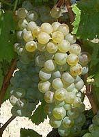 grand vin blanc du rhone, original, cépage viognier