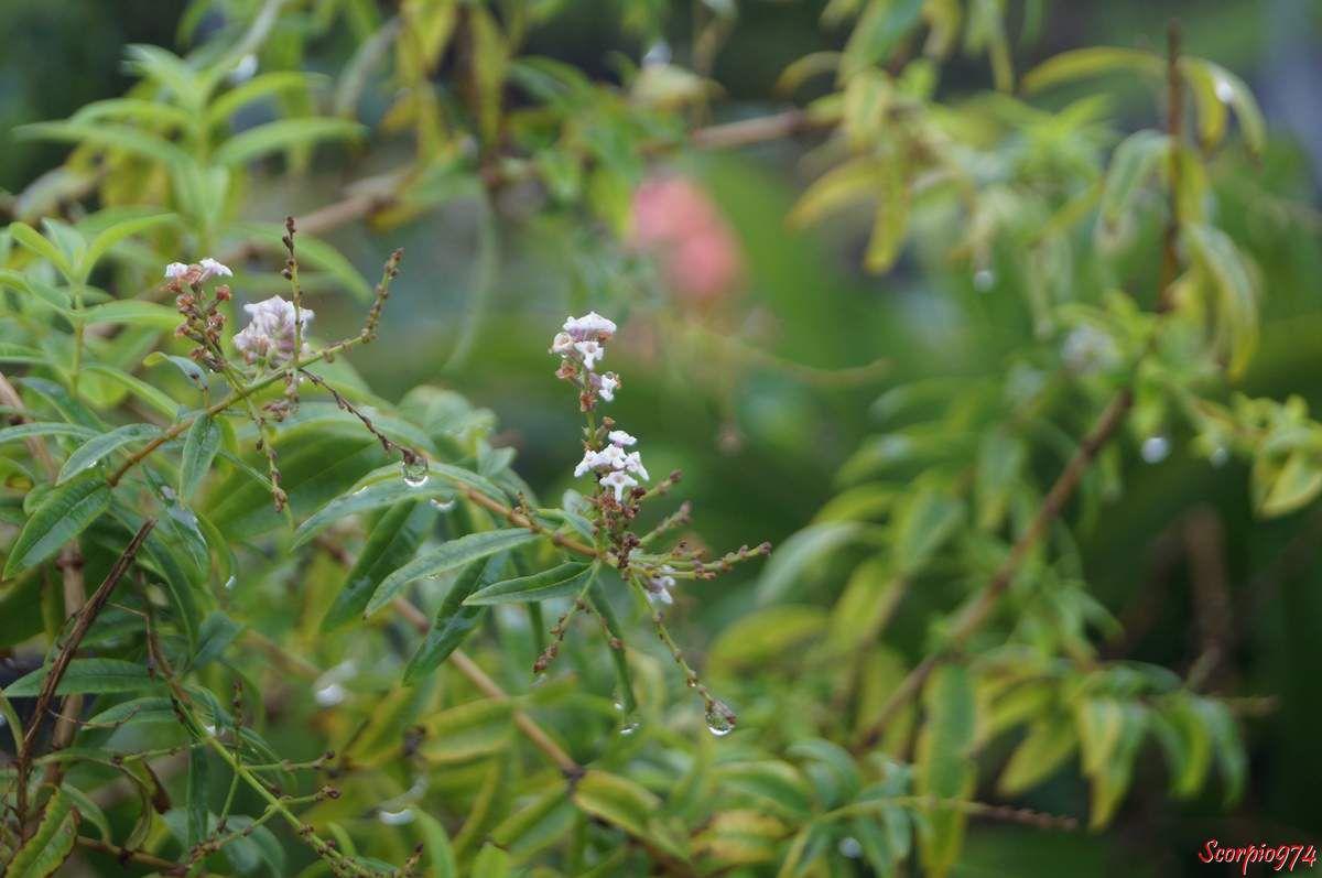 Verveine Citronnelle, plante aromatique et médicinale.