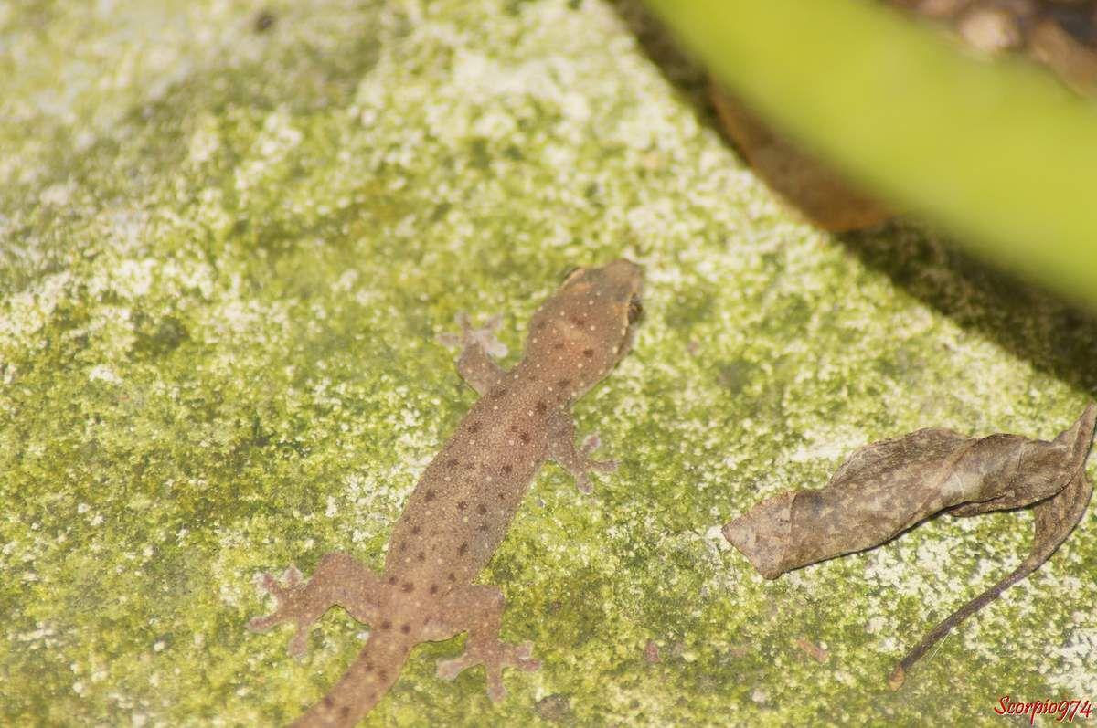 Hémidactyle à petites taches, Hemidactylus parvimaculatus Deraniyagala, 1953, Margouillat des jardins.
