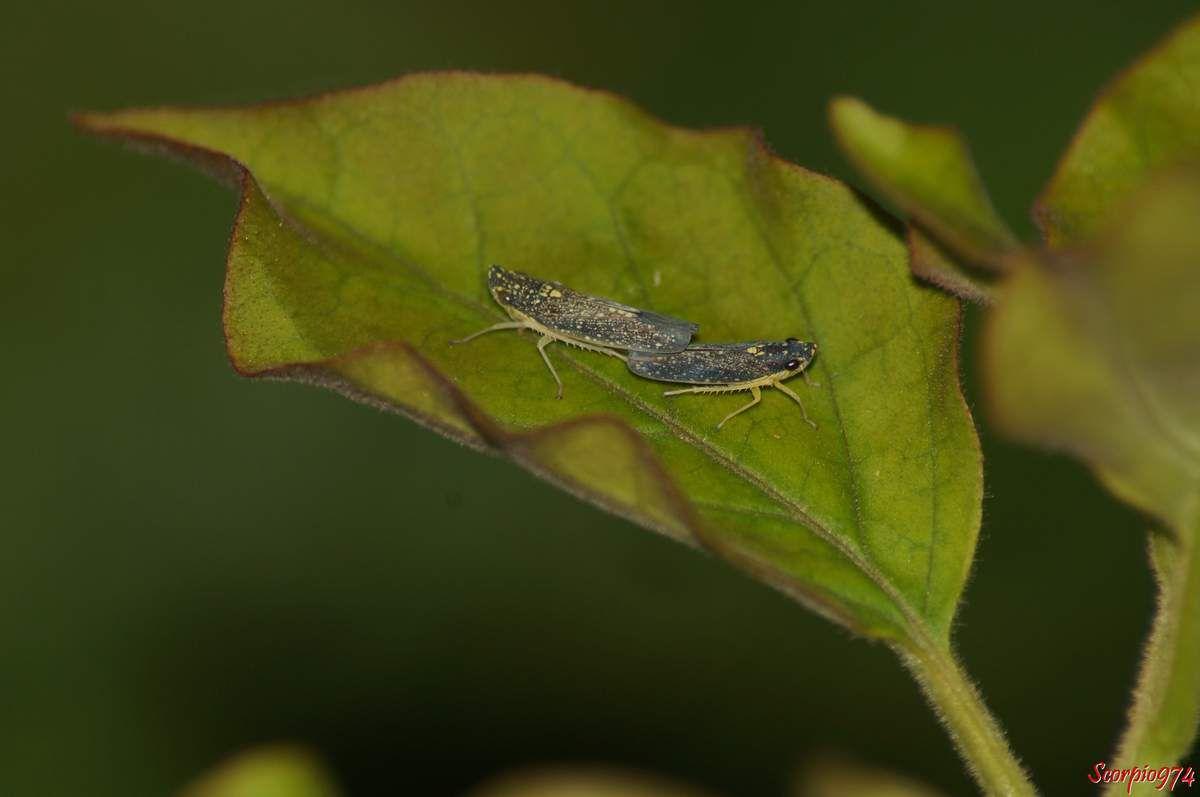 Accouplement, Cicadelles,la Malissiana Billosa (Signoret, 1860)