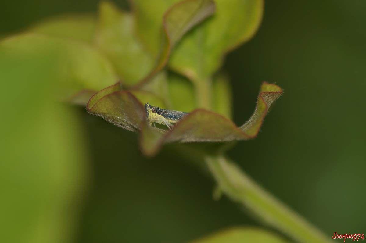 Cicadelle,la Malissiana Billosa (Signoret, 1860)