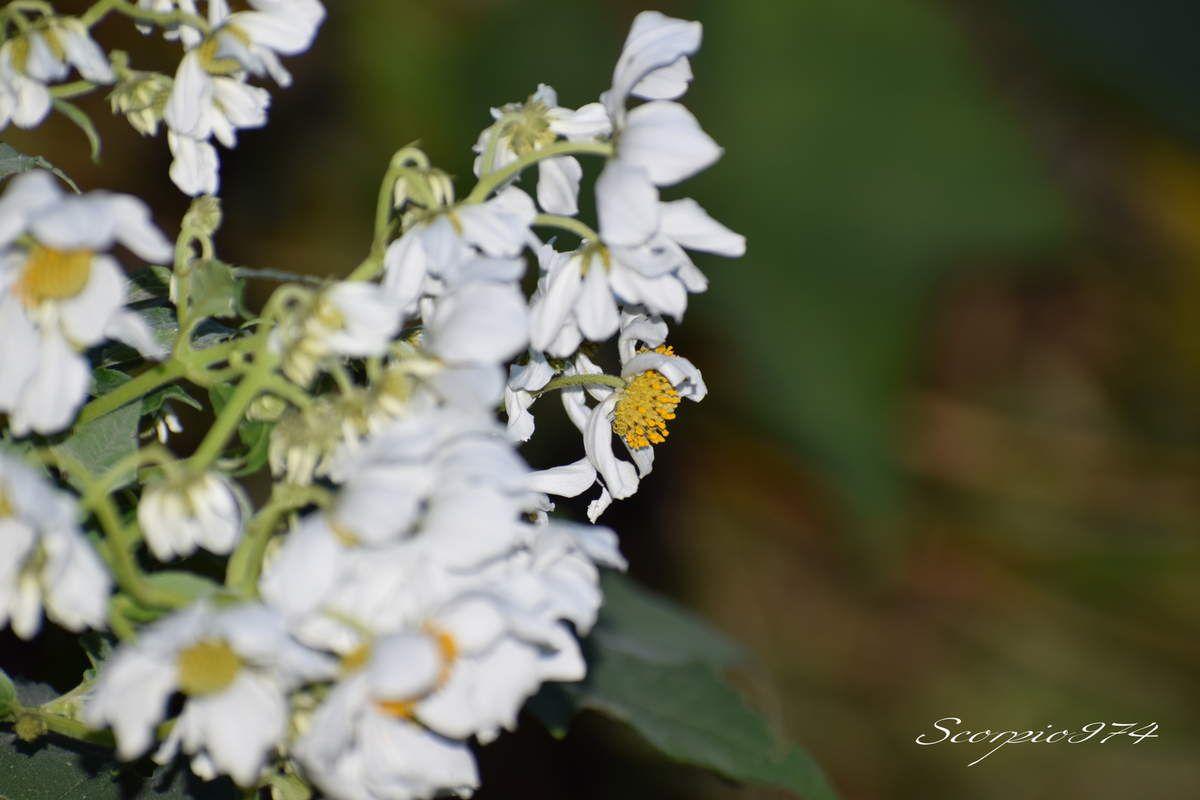 Nature, Nature 974, Nature Réunion, Nature de la Réunion, Nature à la Réunion, flore, flore 974, flore Réunion, flore de la Réunion, flore à la Réunion, fleur, fleur 974, fleur Réunion, fleur de la Réunion, fleur à la Réunion, fleurs, fleurs  974, fleurs de la Réunion, fleurs à la Réunion, fleurs Réunion, fleur blanche, fleur blanche 974, fleur blanche Réunion, fleur blanche de la Réunion, fleur blanche à la Réunion, fleur blanche commune, fleur blanche commune 974, fleur blanche commune Réunion, fleur blanche commune de la Réunion, fleur blanche commune à la Réunion, fleurs communes, fleurs communes 974, fleurs communes Réunion, fleurs communes à la Réunion, fleurs communes de la Réunion, fleurs blanches communes , fleurs blanches communes  974, fleurs blanches communes  Réunion, fleurs blanches communes  de la Réunion, fleurs blanches communes  à la Réunion, espèces florales, espèces florales 974, Réunion, espèces florales de la Réunion, espèces florales à la Réunion, fleurs blanches et jaune, fleurs blanches et jaune 974, Réunion, fleurs blanches et jaune de la Réunion, fleurs blanches et jaune à la Réunion, fleurs blanches et jaunes, fleurs blanches et jaunes à la Réunion, fleurs blanches et jaunes  Réunion, fleurs blanches et jaunes 974, fleurs blanches et jaunes de la Réunion, flore Réunion, flore Réunion, flore de la Réunion, flore à la Réunion, Espèce florale, Espèce florale 974, Espèce florale Réunion, Espèce florale de la Réunion, Espèce florale  à la Réunion, adventice, adventice 974, adventice  Réunion, adventice  de la Réunion, adventice  à la Réunion, adventices, adventices 974, adventices Réunion, adventices de la Réunion, adventices à la Réunion, mauvaise herbe, mauvaise herbe 974, mauvaise herbe Réunion, mauvaise herbe de la Réunion, mauvaise herbe à la Réunion, mauvaise herbe à fleurs blanches, mauvaise herbe à fleurs blanches 974, mauvaise herbe à fleurs blanches Réunion, mauvaise herbe à fleurs blanches de la Réunion, mauvaise herbe à fleurs blan
