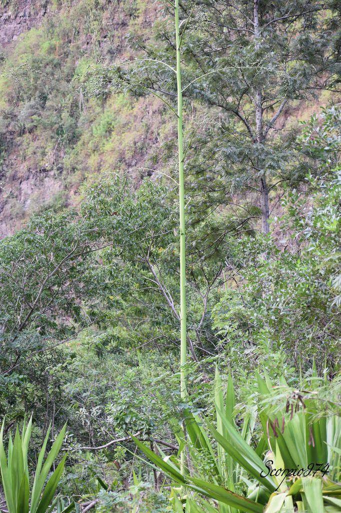 Nature, Nature 974, Nature Réunion, Nature de la Réunion, Nature à la Réunion, flore, flore 974, flore Réunion, flore de la Réunion, flore à la Réunion, flore Réunion, flore Réunion, flore de la Réunion, flore à la Réunion, communs, communs Réunion, communs 974, communs de la Réunion, communs à la Réunion, introduite, introduite 974, introduite Réunion, introduite de la Réunion, introduite à la Réunion, espèce introduite, espèce introduite 974, espèce introduite Réunion, espèce introduite de la Réunion, espèce introduite,  espèce introduite 974,  espèce introduite Réunion,  espèce introduite de la Réunion,  espèce introduite à la Réunion, introduite,  introduite 974,  introduite Réunion,  introduite de la Réunion,  introduite à la Réunion,espèce envahissante de niveau 5, espèce envahissante de niveau 5 974, espèce envahissante de niveau 5 Réunion, espèce envahissante de niveau 5 de la Réunion, espèce envahissante de niveau 5 à la Réunion, espèce envahissante de haut niveau, espèce envahissante de haut niveau 974, espèce envahissante de haut niveau Réunion, espèce envahissante de haut niveau de la Réunion, espèce envahissante de haut niveau à la Réunion, espèce envahissante cinq, espèce envahissante cinq 974, espèce envahissante cinq Réunion, espèce envahissante cinq de la Réunion, espèce envahissante cinq à la Réunion, espèce florale envahissante de niveau 5 sur 5, espèce florale envahissante de niveau 5 sur 5 974, espèce florale envahissante de niveau 5 sur 5 Réunion, espèce florale envahissante de niveau 5 sur 5 de la Réunion, espèce florale envahissante de niveau 5 sur 5 à la Réunion, espèce florale envahissante de cinq sur cinq, espèce florale envahissante de cinq sur cinq 974, espèce florale envahissante de cinq sur cinq Réunion, espèce florale envahissante de cinq sur cinq de la Réunion, espèce florale envahissante de cinq sur cinq à la Réunion, espèce florale envahissante de niveau 5, espèce florale envahissante de niveau 5 974, espèce florale envahissante de