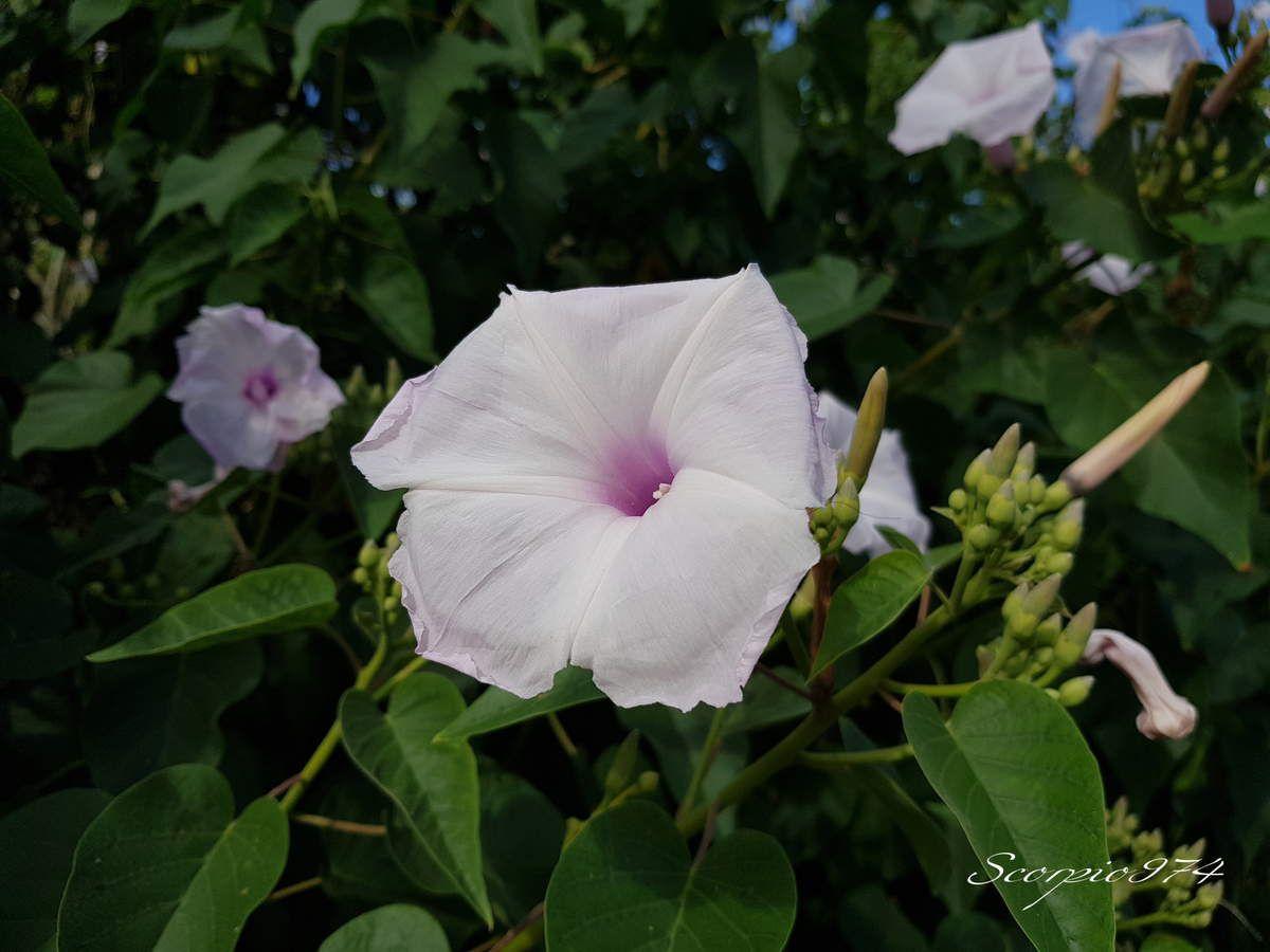 Nature, Nature 974, Nature de la Réunion, Nature à la Réunion, Flore, Flore 974, Flore Réunion, Flore de la Réunion, Flore à la Réunion, Flore introduite, Flore introduite 974, Flore introduite Réunion, Flore introduite de la Réunion, Flore introduite à la Réunion, introduite, introduite 974, introduite Réunion, introduite de la Réunion introduite à la Réunion, Flore introduites de la Réunion, Flore introduites à la Réunion, introduites, introduites 974, introduites Réunion, introduites de la Réunion introduites à la Réunion, Flore toxique, Flore toxique 974, Flore toxique Réunion, Flore toxique de la Réunion, Flore toxique à la Réunion, toxique, toxique 974, toxique Réunion, toxique de la Réunion toxique à la Réunion, Flore toxiques de la Réunion, Flore toxiques à la Réunion, toxiques, toxiques 974, toxiques Réunion, toxiques de la Réunion toxiques à la Réunion, Arbres introduits, Arbres introduits 974, Arbres introduits Réunion, Arbres introduits de la Réunion Arbres introduits à la Réunion, Arbre introduit, Arbre introduit 974, Arbre introduit Réunion, Arbre introduit de la Réunion Arbre introduit à la Réunion, Arbre envahissant à fleur rose pale, Arbre envahissant à fleur rose pale 974, Arbre envahissant à fleur rose pale Réunion, Arbre envahissant à fleur rose pale de la Réunion, Arbre envahissant à fleur rose pale à la Réunion, Arbre envahissant à petite fleur rose pale, Arbre envahissant à petite fleur rose pale Réunion, Arbre envahissant à petite fleur rose pale de la Réunion, Arbre envahissant à petite fleur rose pale à la Réunion, Arbre envahissant à petites fleurs roses pales, Arbre envahissant à petites fleurs roses pales 974, Arbre envahissant à petites fleurs roses pales à la Réunion, Arbre envahissant à petites fleurs roses pales Réunion, Arbre envahissant à petites fleurs roses pales de la Réunion,espèce introduite, espèce introduite 974, espèce introduite Réunion, espèce introduite de la Réunion espèce introduite à la Réunion, espèces introduites, e