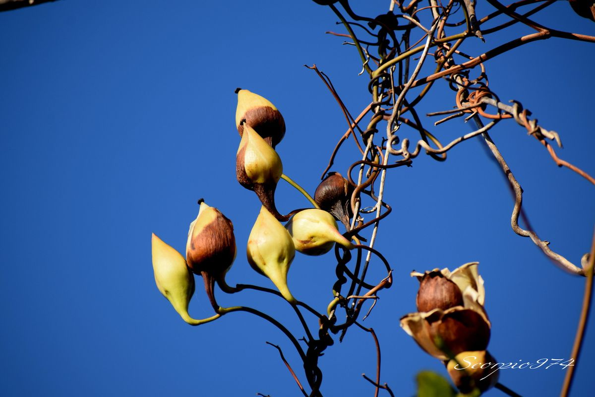 La fin de floraison du Kapokier (Ceiba pentandra ((L.) Gaertn., 1791)).