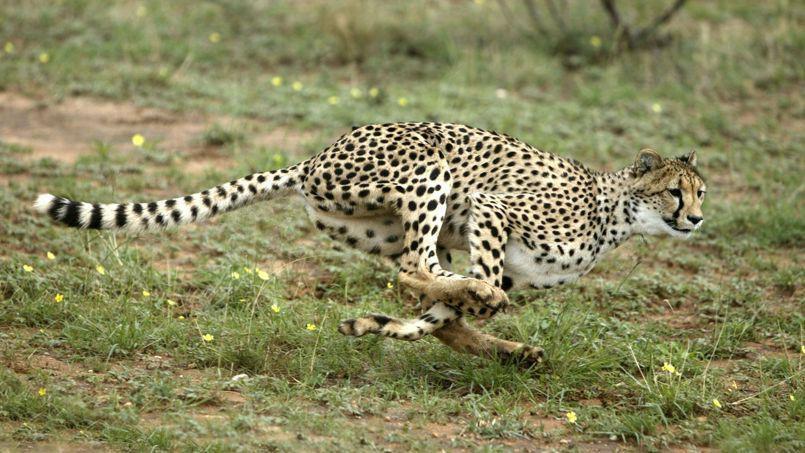 Guépard qui court entre 90 et 110 km/h.