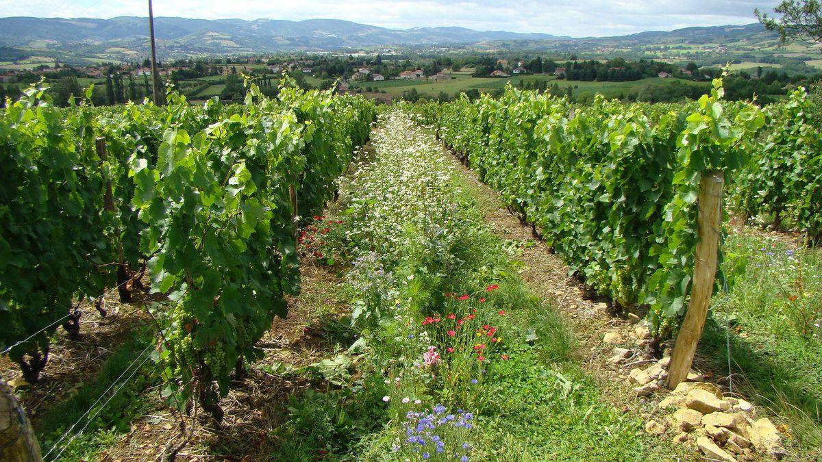 Amélioration de la rugosité su sol : bande fleurie (Sud-Beaujolais)