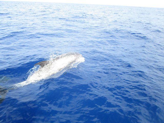 Rencontre avec des dauphins de Risso...