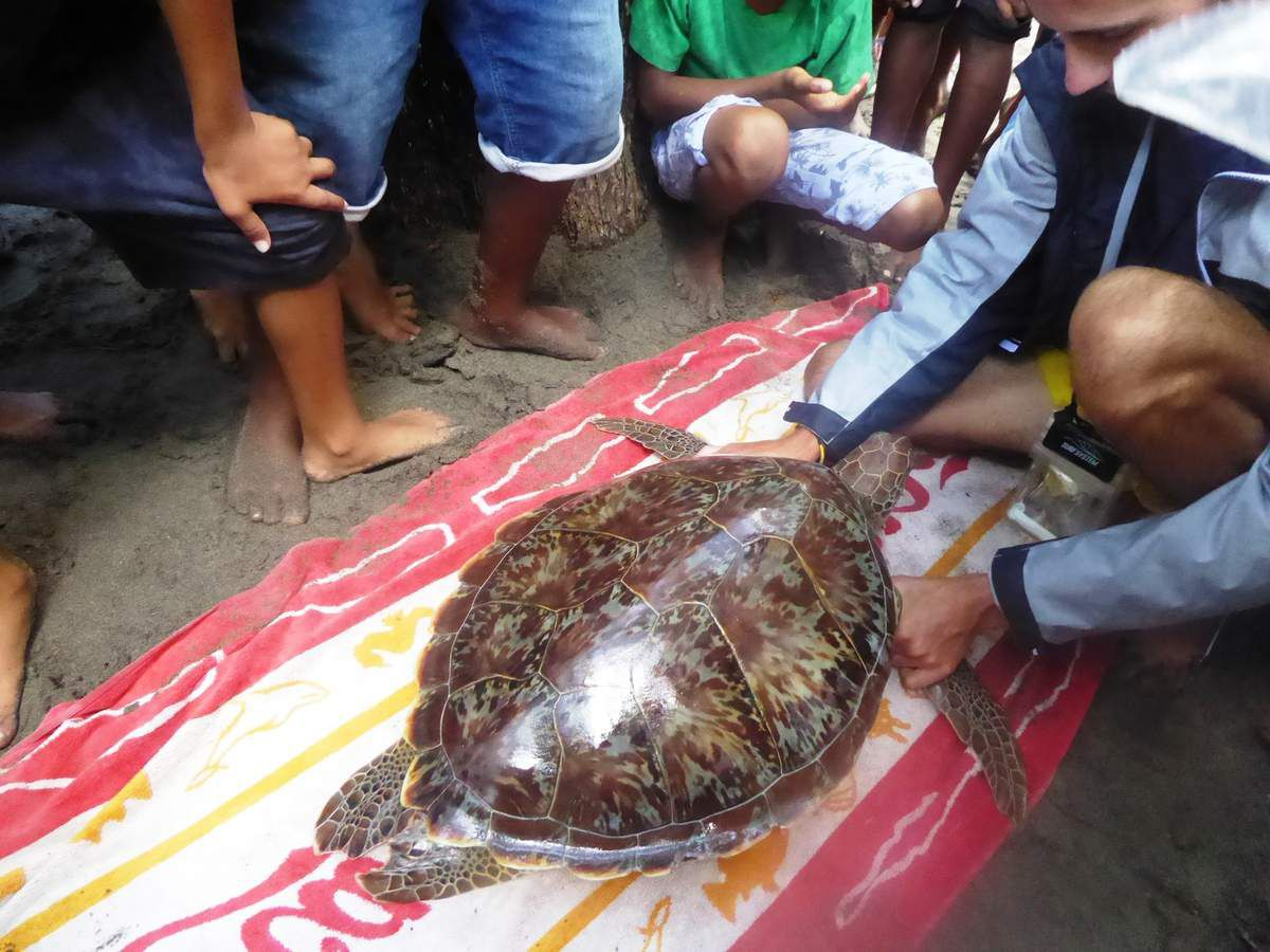 Capture de tortues avec les scientifiques du CNRS...