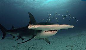 Les requins 2 ème partie