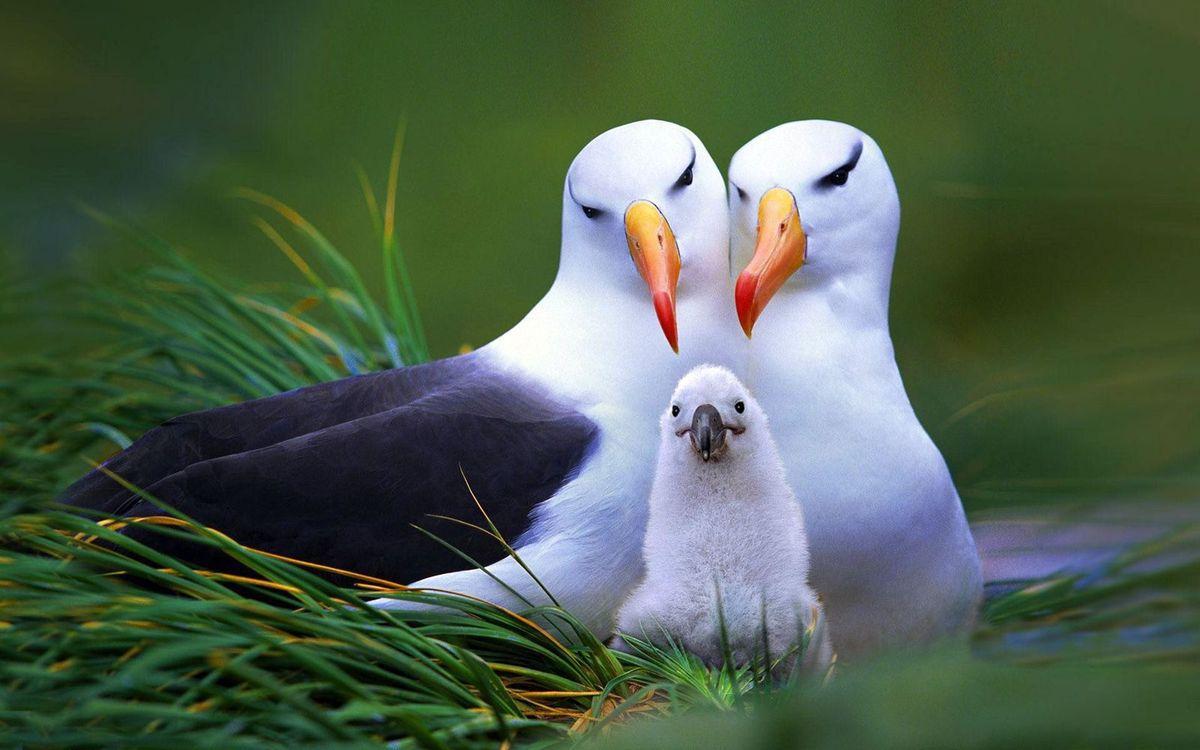 Tout sur l'albatros hurleur et ses cousins!!