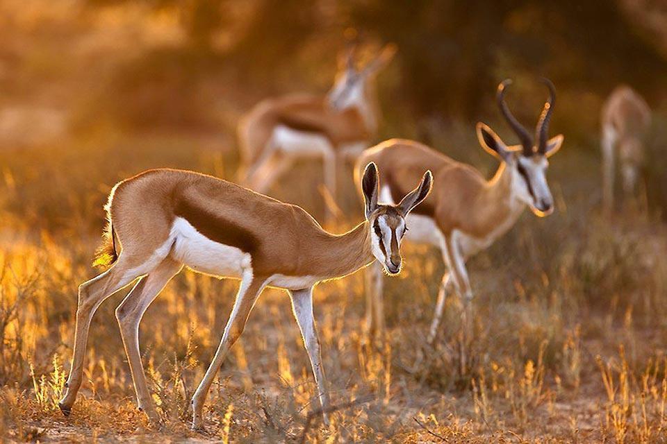 Les Antilopes du Cap