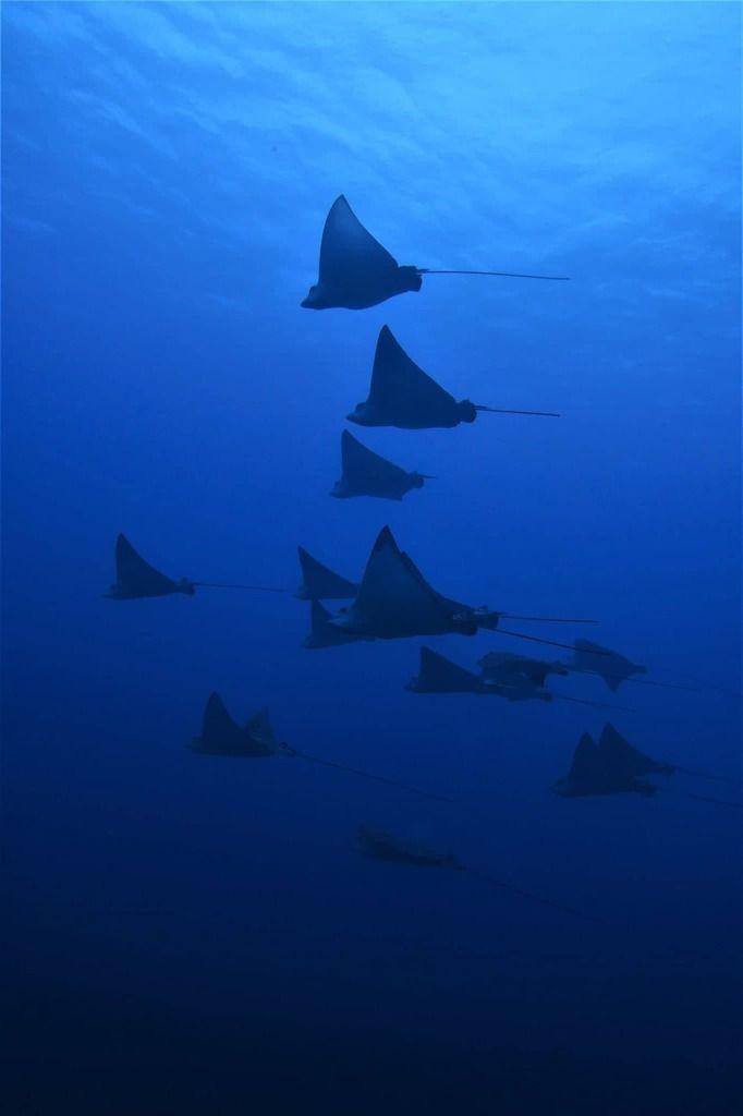 Les requins de Rangiroa.....