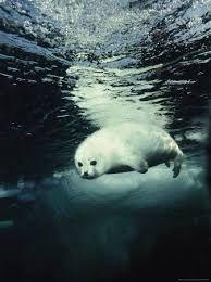 Le phoque de Weddell par Yanna