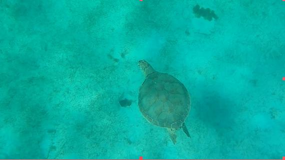 Le voyage de Marin dans les Petites Antilles parmi  les tortues vertes