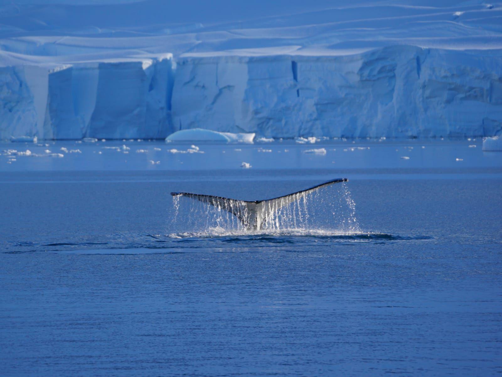 La baleine à bosse en vidéo par ManuE et en exposé par Lissa, Lyra et Chloralie