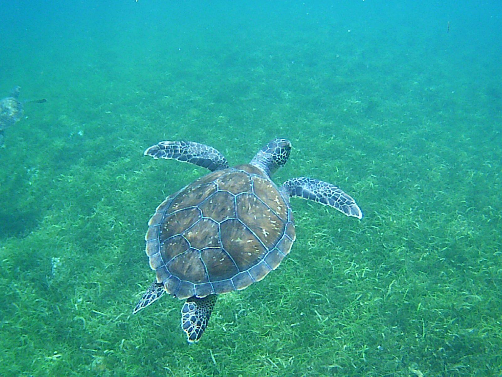 Bal de tortues vertes à Grande Anse!