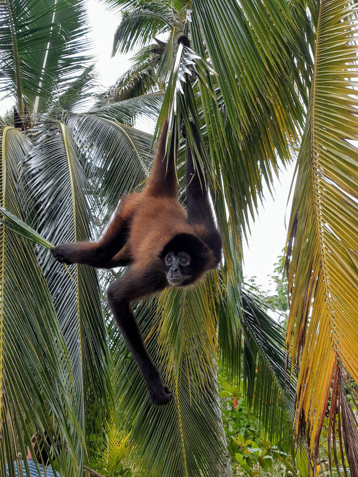 Les singes araignées, acrobates des forêts par Elisa de Kissanga