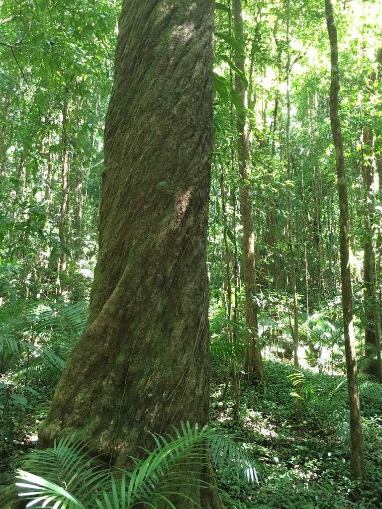 Suivre les sentiers balisés dans la forêt tropicale de la Daintree Forest.
