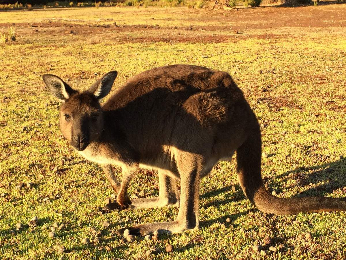 John en approche dans un pré de Kangaroo Island