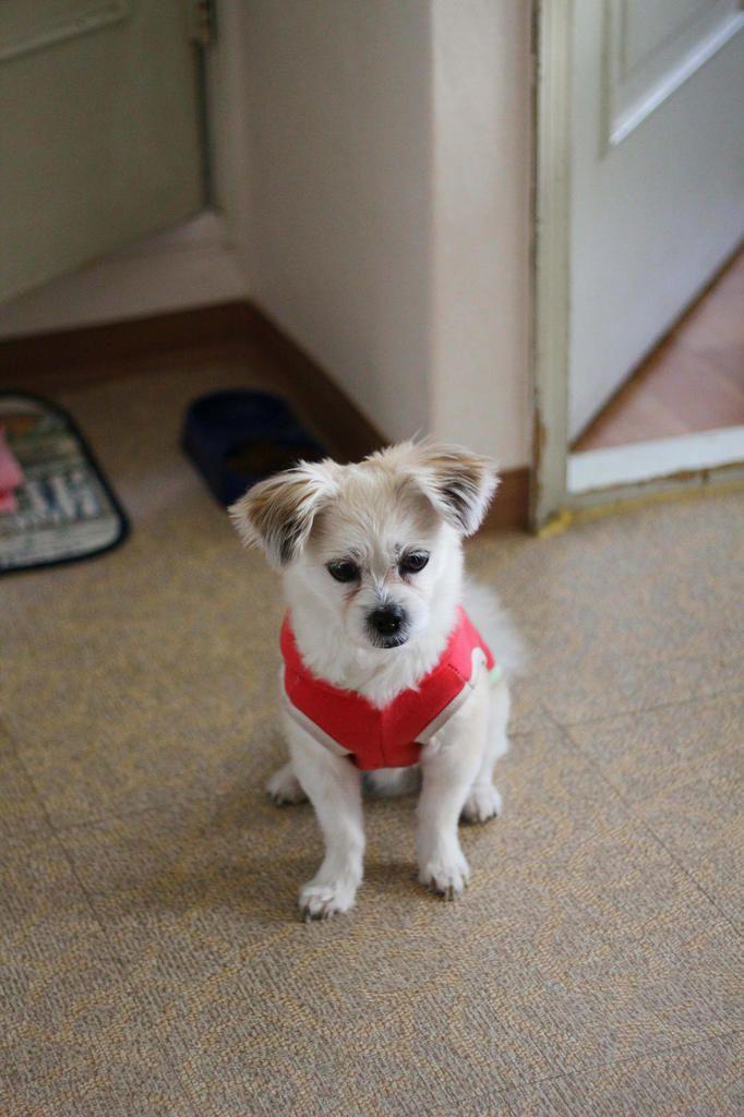 Miru, le chien le plus mignon de la terre !