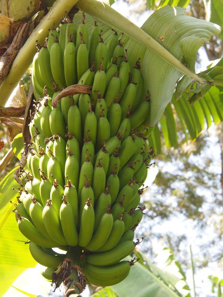 les bananes de Moshi.....
