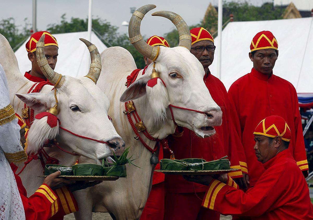 Offrande des sept écuelles aux bœufs.