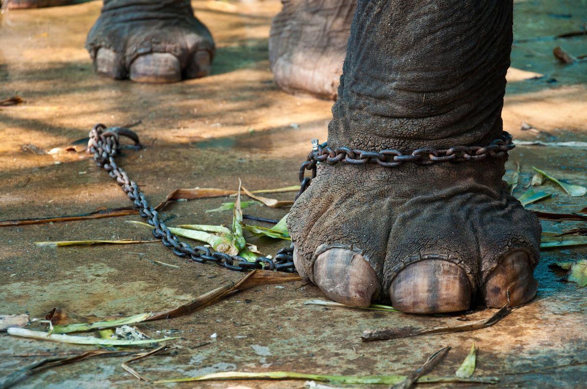 Chaîne trop courte préjudiciable à la santé de l'éléphant