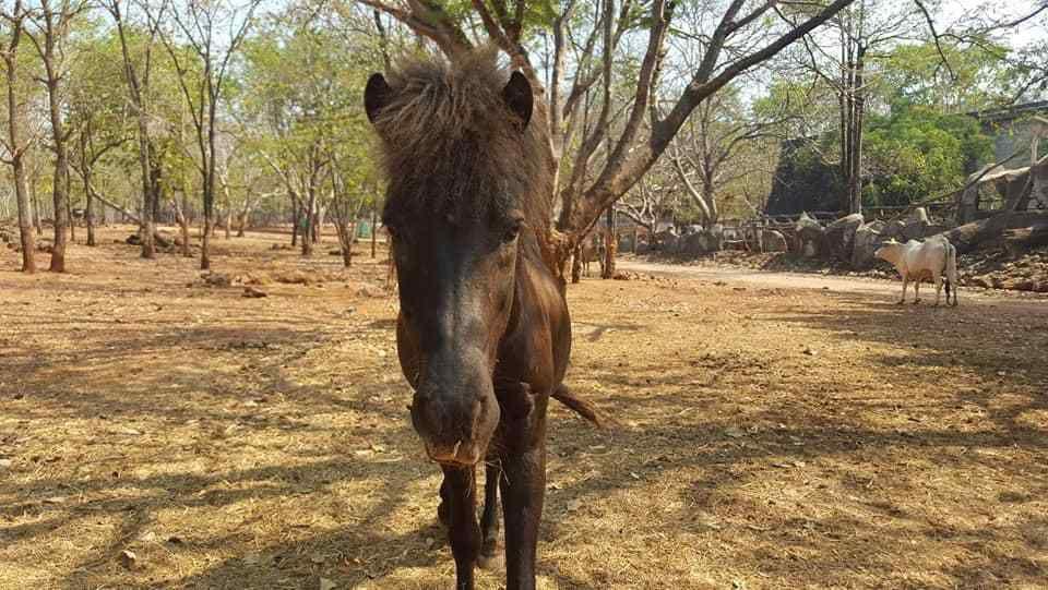 Un cheval affamé au Wat Ta Bua Yan Samphan, à Kanchanaburi.