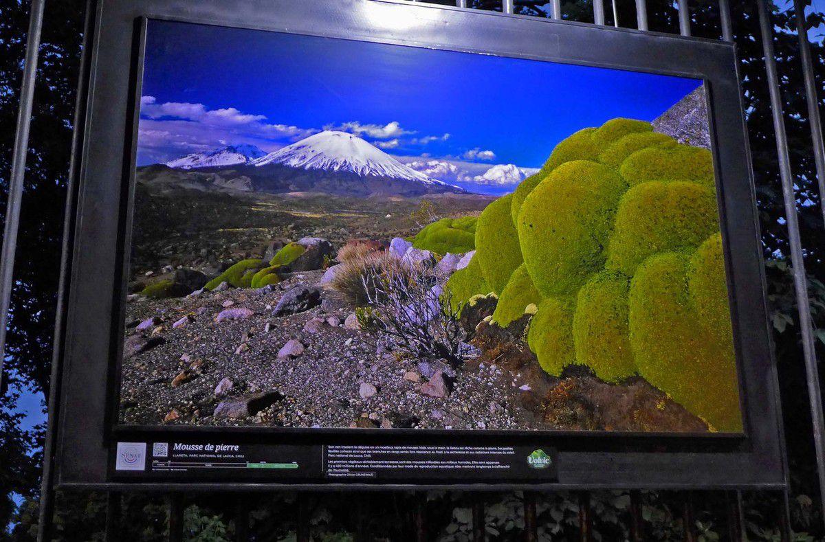 Llareta, Parc national de Lauca, Chili