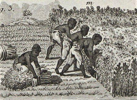 Récolte de l'indigo. Encyclopédie ou dictionnaire raisonné des sciences des arts et des métiers par Diderot et d'Alembert. Edition Briasson, Paris, 1751