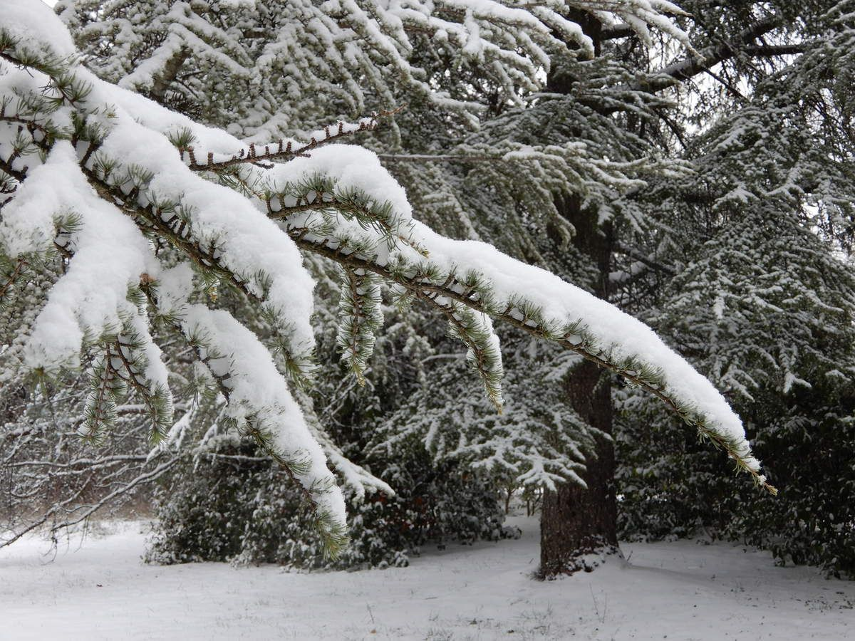 à la fonte, les branches de cyprès ploient et laissent choir des paquets de neige qui s'écrasent, à l'aplomb.