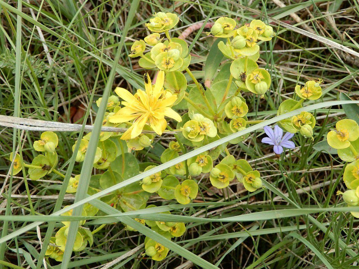 euphorbe characias-lampsane commune-aphylante de Montpellier