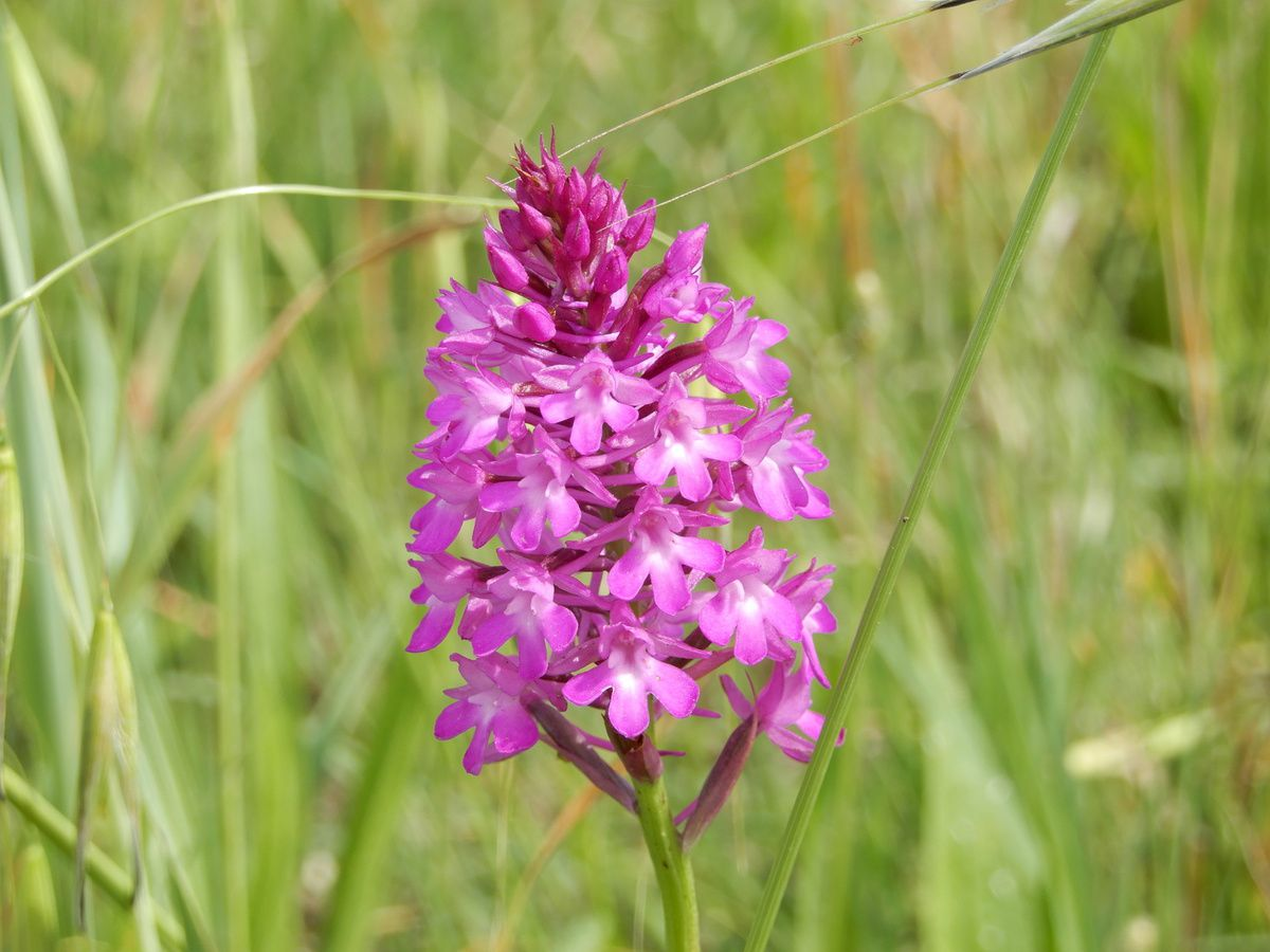 orchis pyramidal (orchidée)
